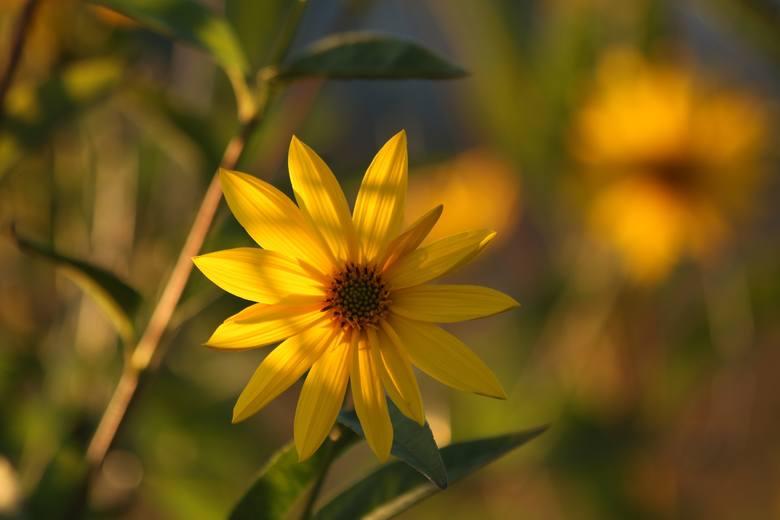 Wśród uprawianych w ogrodzie kwiatów ozdobnych jest wiele takich, które można wykorzystać do jedzenia. Niektóre mogą być niemal samodzielną potrawą,