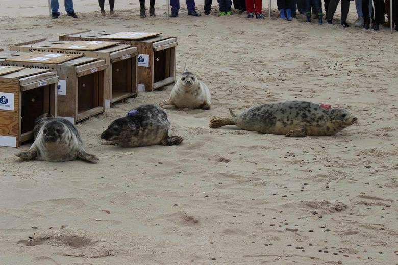 W Czołpinie wypuszczono do morza cztery foki [zdjęcia]