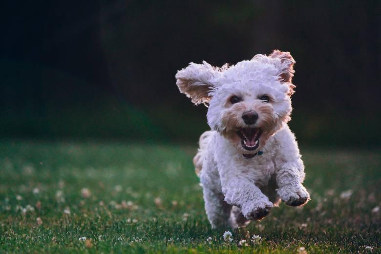 podatek od posiadania psa, podatek za psa, podatek, właściciele psów