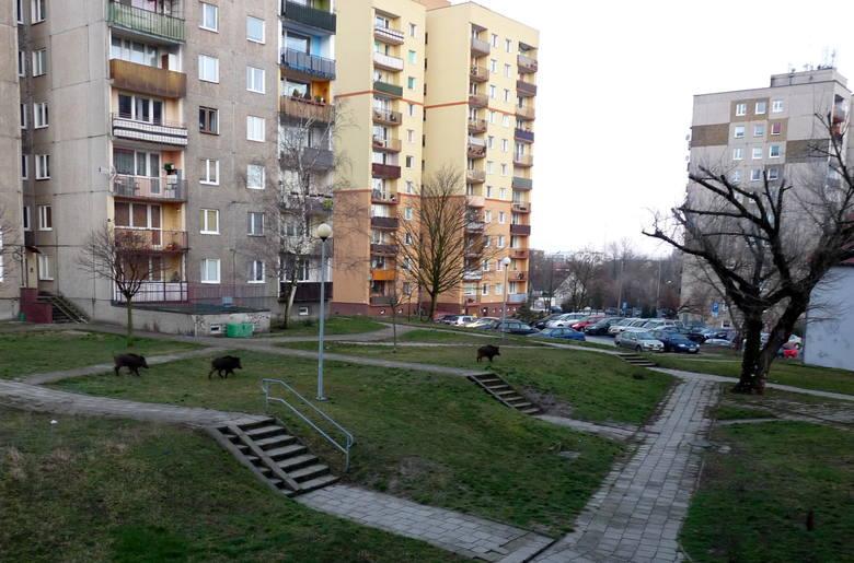 Dziki na osiedlu przy ul. Skłodowskiej w Zielonej Górze. O sprawie poinformował nas Czytelnik.
