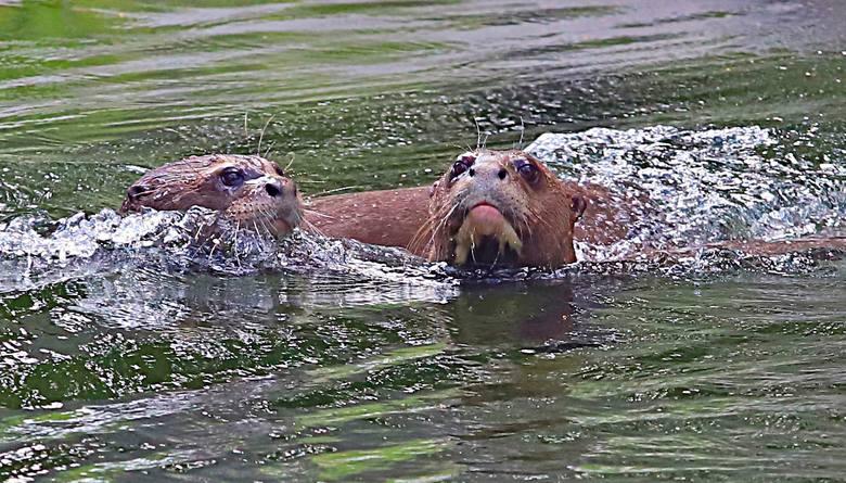 Wydra Coari z łódzkiego zoo ma partnera z Holandii