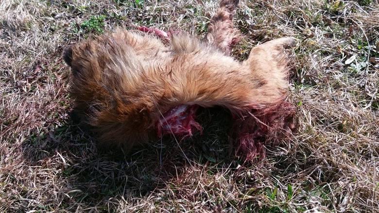 Mieszkańcy Wyżnego i Połomi w niedługim czasie widzieli wilka kilkakrotnie. W obawie o swoje zdrowie boją się wychodzić z domu. W weekend zwierzę miało zaatakować i zabić dużego psa.