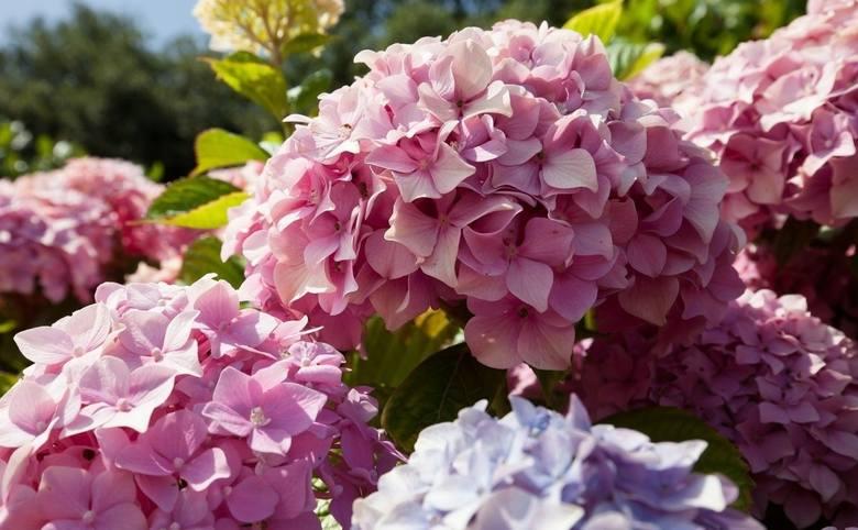 Hortensje ogrodowe i bukietowe kwitną przepięknie i długo. Odmiana ogrodowa ma też pewną zadziwiającą cechę - można zmienić kolor jej kwiatów.