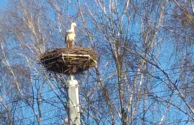 We wtorek, 2 kwietnia, wczesnym rankiem można było zobaczyć bociana na gnieździe przy kościele w Nowym Kisielinie. Ptak doprowadzał do ładu swoje upierzenie,