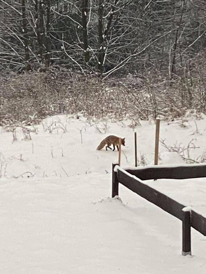 Lis w pobliżu gospaodarstwa w Jaszczurowej. Luty 2021