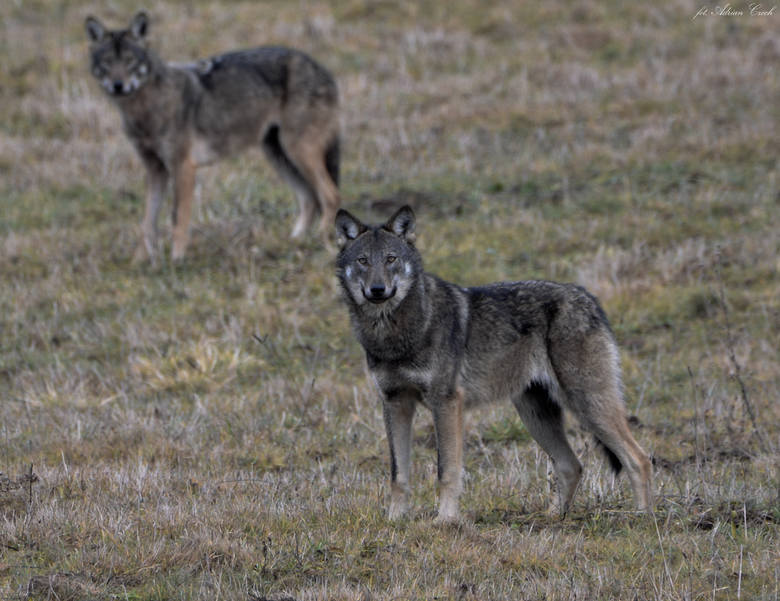 W Wołkowyi rządzą wilki. Nie boją się ludzi. Wójt gminy soliny prosi o odstrzał