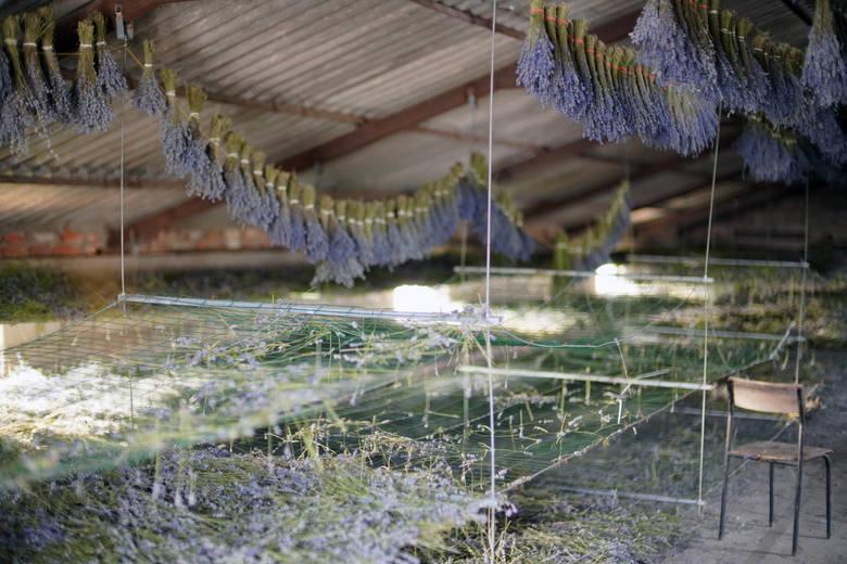 Rolnicy w całej Wielkopolsce załamują ręce z powodu suszy. Są jednak uprawy, którym upały sprzyjają. Lawenda znosi nawet najcięższe warunki, a za brak wody odwdzięcza się większą ilością olejku eterycznego, co cieszy właścicieli. Pod Poznaniem znajduje się wielkopolska Prowansja. To pole lawendy...