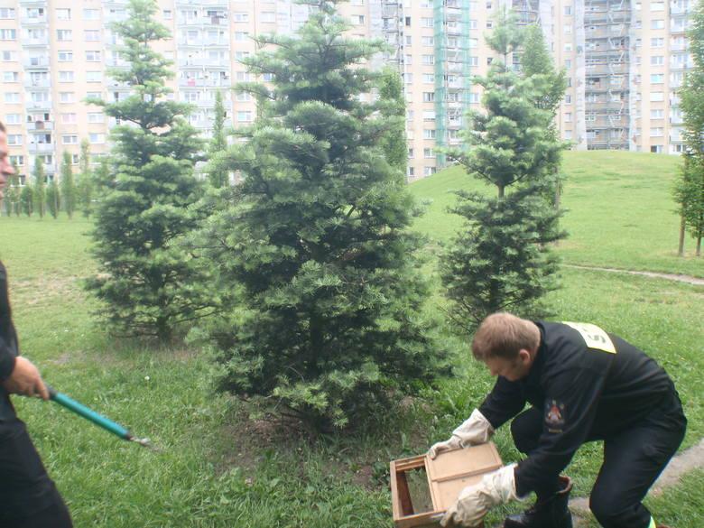 Pszczoły na osiedlu Rusa. Interweniowali strażacyPszczoły na osiedlu Rusa. Interweniowali strażacy