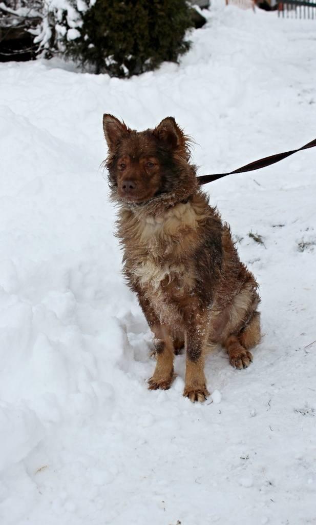 pies mały, rudy, kudłaty, 1,5 roku