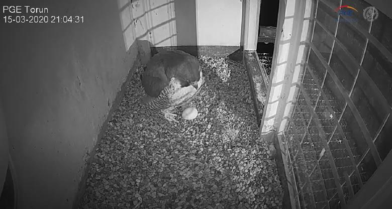 Katarzynka i Piernik, czyli sokoły wędrowne, które mają gniazdo na kominie toruńskiej elektrociepłowni doczekały się już trzech jaj.Sokola rodzina z