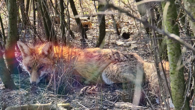 Obrońcy praw zwierząt zarzucają sandomierskiej Straży Miejskiej  znęcanie się nad rannym lisem.