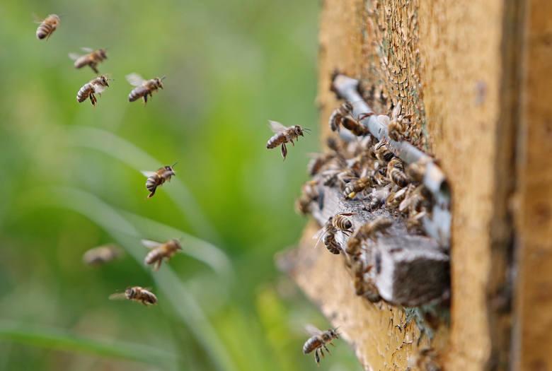 Czerwiec to miesiąc pszczół i kwitnących facelii. Ich urodę postanowił uwiecznić jeden z naszych czytelników. - Zdjęcia z wizyty w lokalnej, złotnickiej