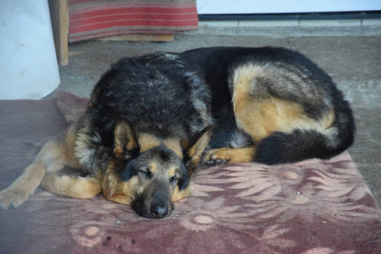 Agri (na zdjęciu), Lela a może Waran? Psów, które można adoptować w zielonogórskim schronisku dla bezdomnych zwierząt, jest bardzo dużo. Prezentujemy