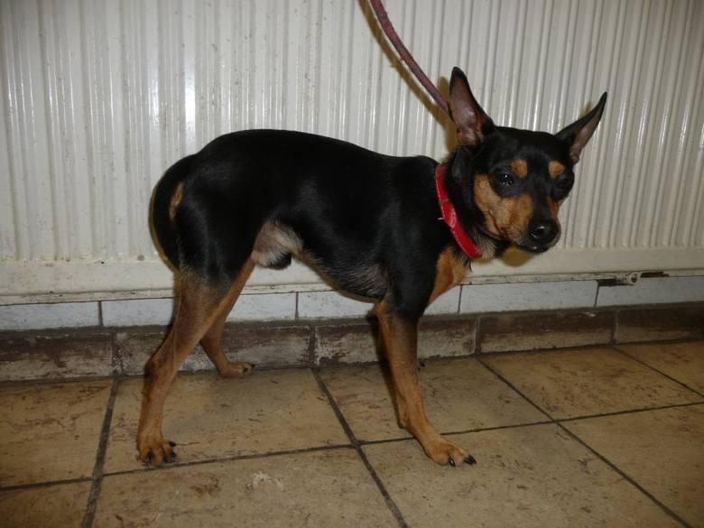 Pies poz. 19/0332Mały pies przywieziony 26 kwietnia z ul. Rydygiera w Toruniu.Zobacz także:Mała Tosia potrzebuje pomocyIle pieniędzy dać na prezent