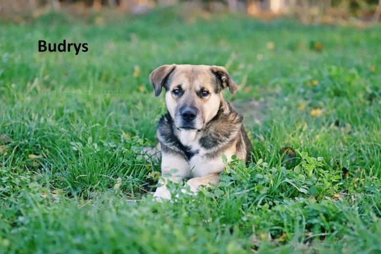 Budrys – 4 letni pies, waży ok. 30 kg, duży. Budzi respekt swoją postawą, przy czym jest bardzo łagodny. Bydrys to prawdziwy pieszczoch. Lubi dzieci
