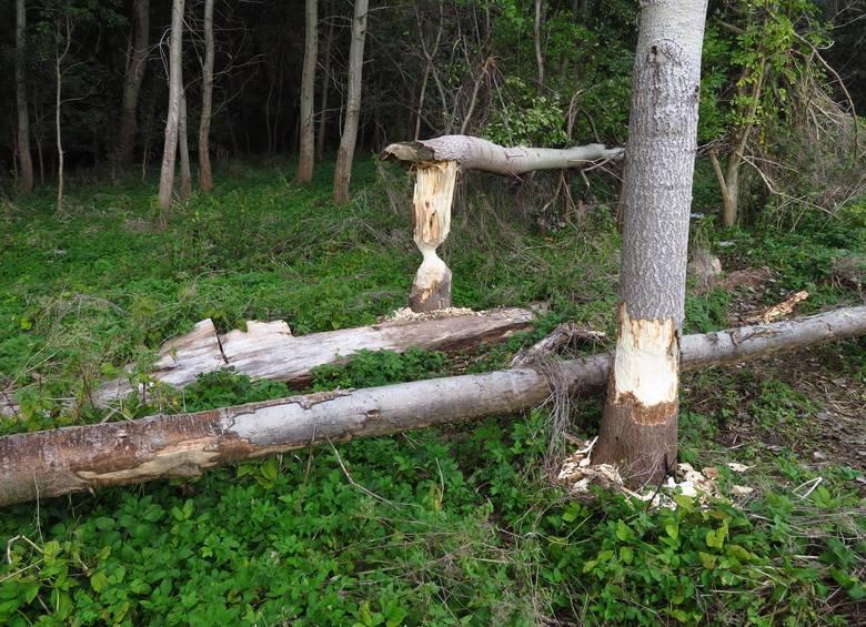 Ustecka bobrza rodzina szykuje się do zimy, podgryzając i powalając kolejne drzewa oraz robiąc kaskadę tam. Ten największy europejski gryzoń, na strudze