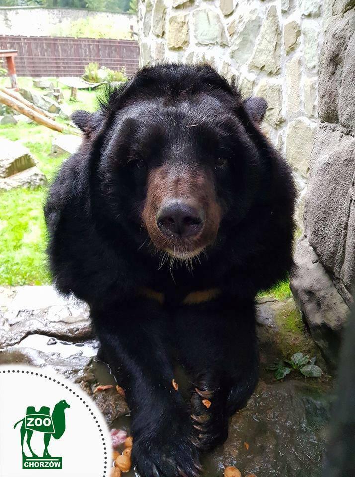 Kasia - niedźwiedzica himalajska