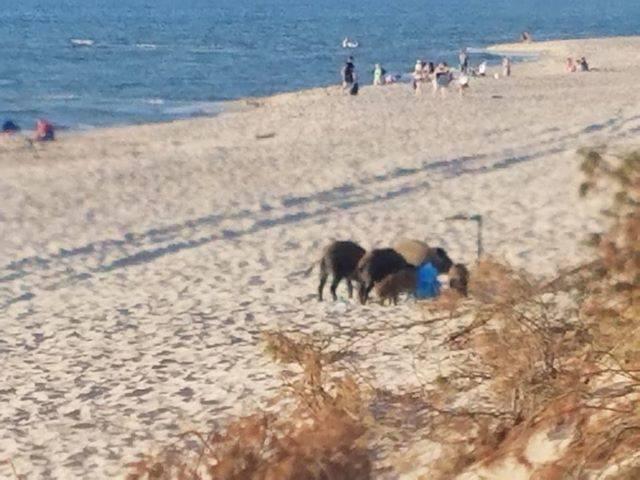 We wtorek około g. 20 na plaży w Łazach (gmina Mielno) pojawiła się rodzina dzików. O sprawie poinformował nas Internauta, Marek Andrzejewski, który