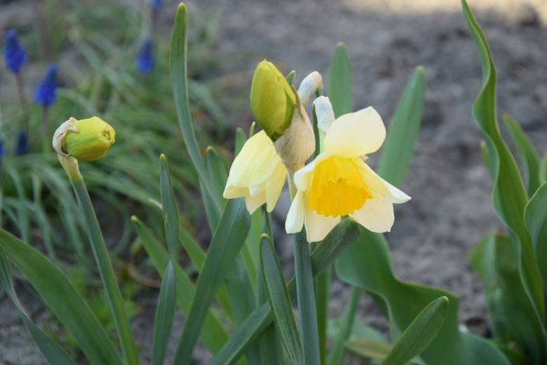 Wiosna w ogrodzie. Na grządkach oraz gałązkach drzew i krzewów coraz bardziej kolorowo