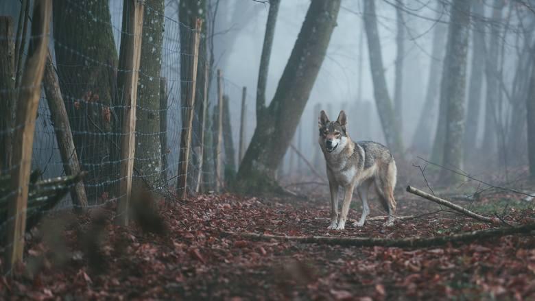 lubuskie mapa występowania wilków, wilki lubuskie, wilki, drapieżniki lubuskie, wilki w lubuskiem mapa, mapa wilków
