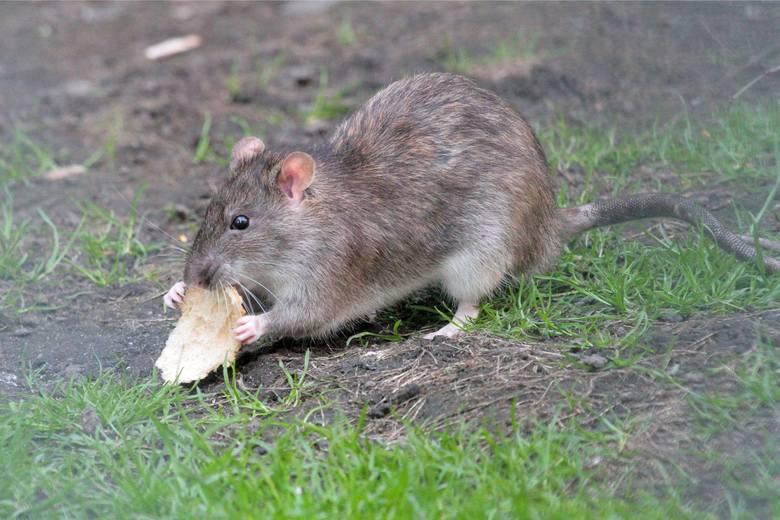 Mieszkańcy Rubinkowa, którzy mają kłopot z myszami i szczurami, proszeni są o zgłoszenie tego radnemu Piotrowi Lenkiewiczowi (KO) lub bezpośrednio sanepidowi.