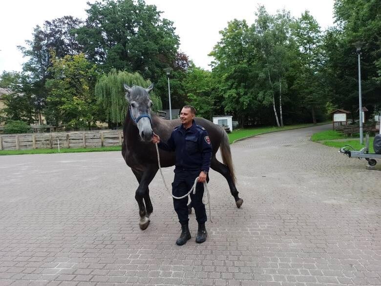 Konie w straży miejskiej - jak istotna jest ich rola? Według dowódcy sekcji konnej są niezastąpione!