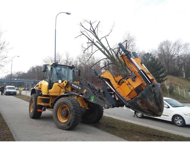 Zarząd Zieleni Miejskiej przesadził pięć sporych rozmiarów lip z ul. Kostaneckiego do pobliskiego parku na os. Rżąka. Drzewa zostały specjalnie przycięte,