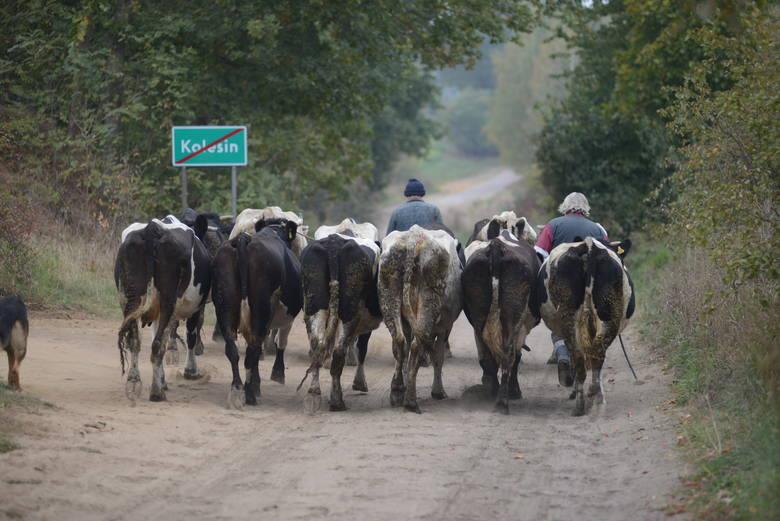 Ministerstwo Rolnictwa: Będą umorzenia kar za przekroczenie kwot mlecznychW Ministerstwie Rolnictwa i Rozwoju Wsi (MRiRW) opracowany został projekt uchwały