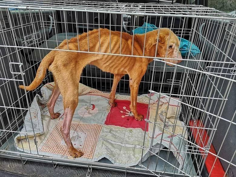 Bobika odebrało Toruńskie Towarzystwo Ochrony Praw Zwierząt. Psa nie udało się jednak uratować.