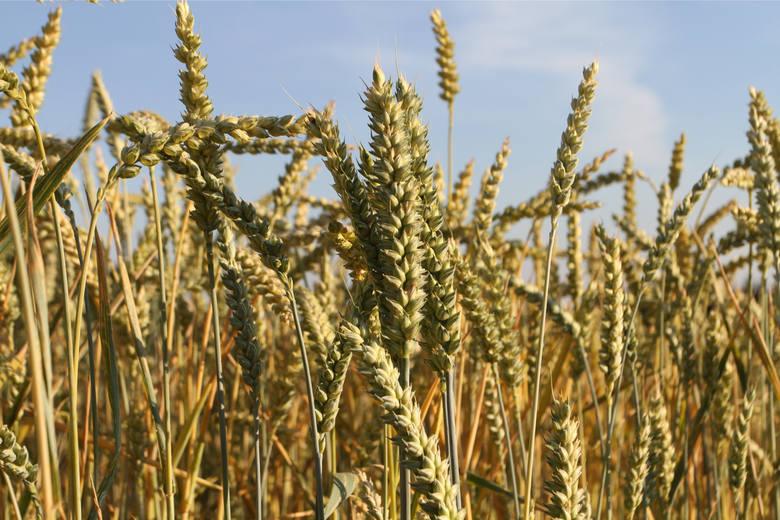 Według szacunków ekspertów we wrześniu cena pszenicy konsumpcyjnej może wahać się w granicach 690 - 720 zł/t, a w grudniu 700 - 745 zł/t. We wrześniu