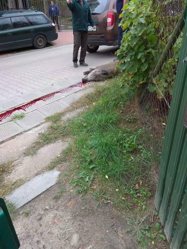 We wrześniu 2018 r. na ul. Gołębiej w Puszczykowie zauważono dzika, który wyszedł z pobliskiego lasu. Mieszkańcy poinformowali o tym straż gminną, której