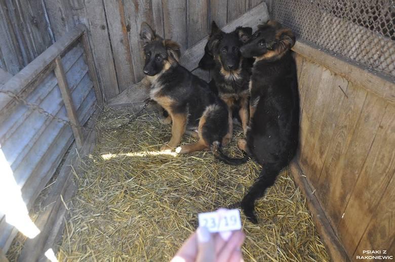 W 2015 roku hodowcom w Puszczykowie (powiat grodziski) odebrano 53 psy, które żyły w skrajnie złych warunkach. Choć jeden z nich otrzymał od sądu 10-letni zakaz posiadania zwierząt i prowadzenia związanej z tym działalności, nic sobie z tego nie zrobił. W ubiegłym tygodniu przeprowadzono...