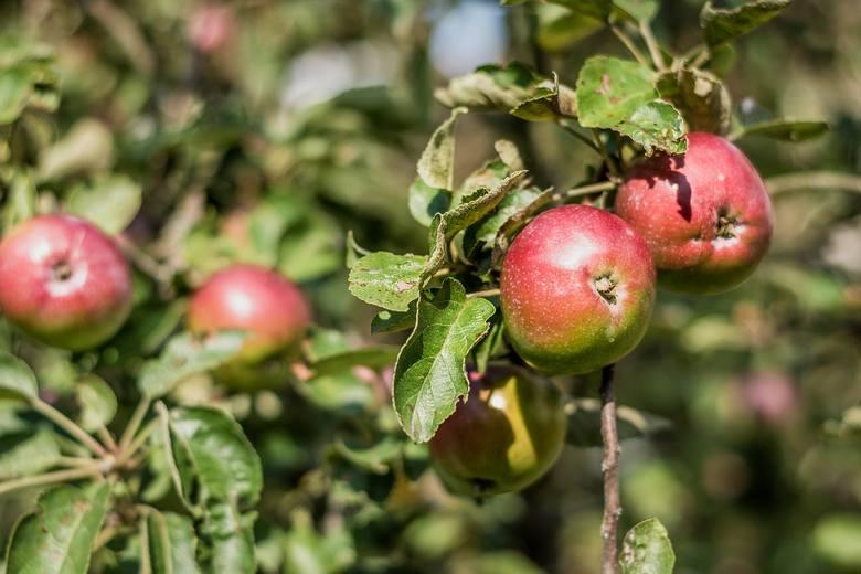 Zmiany klimatyczne wpłyną na zbiory owoców w Polsce. Czy sadownicy mogą się przygotować?