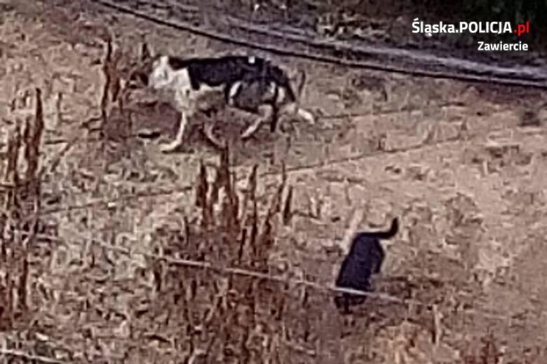 Zawiercie: Psy zagryzły 47 rasowych kur. Właściciela czworonogów szuka policja