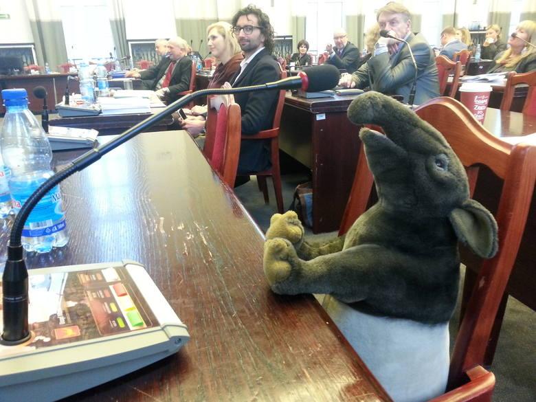 """Maskotka tapira """"zasiadła"""" w ławie przewodniczącego klubu radnych PiS Sebastiana Bulaka, gdy radni PiS opuścili salę obrad przed zakończeniem"""