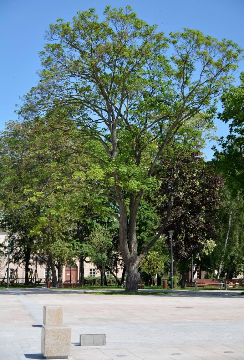 """- Nie mam wątpliwości, że rosnący w takim """"kółku"""" jawor przy pomniku Unii Lubelskiej jest praktycznie spisany na straty. Już teraz ma przerzedzoną koronę, a będzie jeszcze gorzej - komentuje dendrolog Jerzy Rachwald. Wcześniej to drzewo rosło na trawniku. Nie ma też już drzewa tego samego..."""