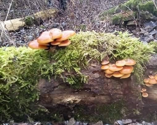 To jeden z jadalnych gatunków grzybów, które w Polsce można zbierać zimą. Płomienice zimowe rosną m.in. na pniach drzew, których sporo jest nad Wisł