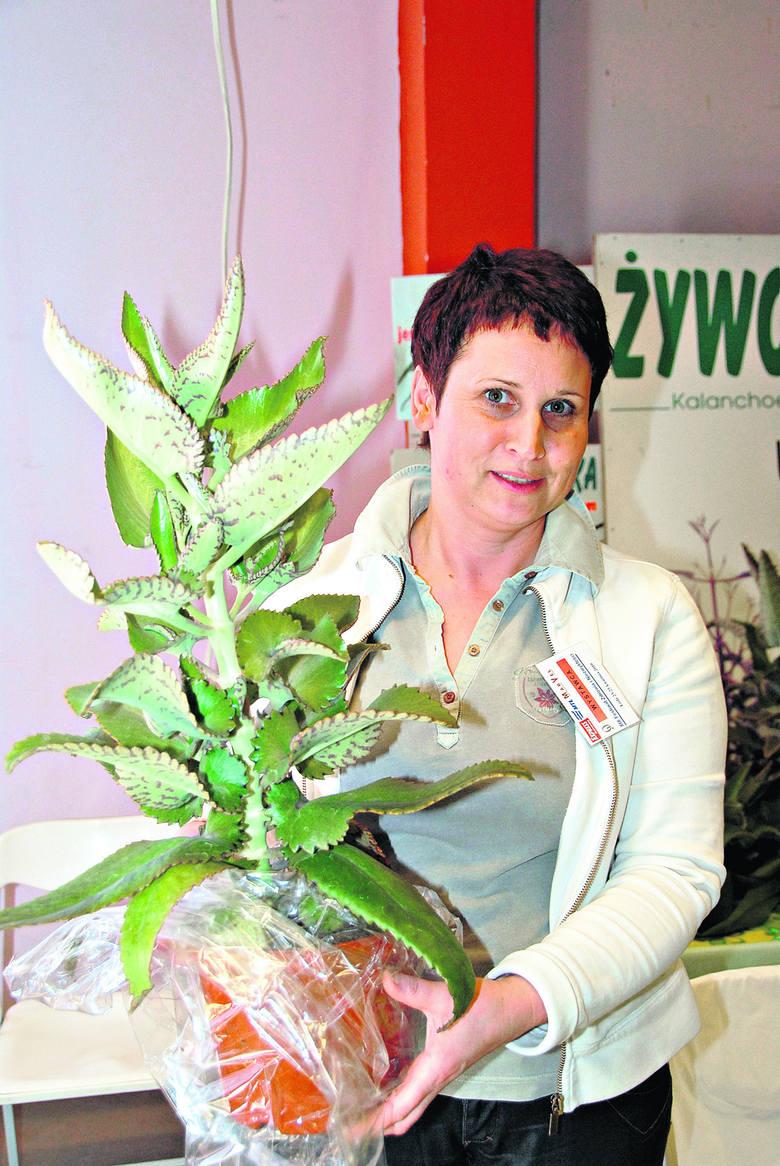 Żyworódka to lecznicza roślina robiąca zawrotną karierę.