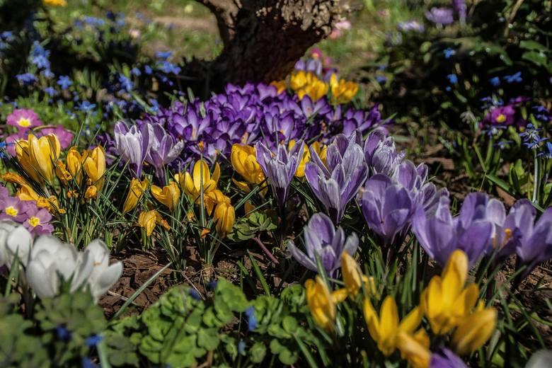 Wiele kwiatów zakwita już w lutym-marcu, a niektóre nawet w styczniu. Wiele zależy oczywiście od pogody, a także regionu Polski. Zobaczcie, jakie kwiaty
