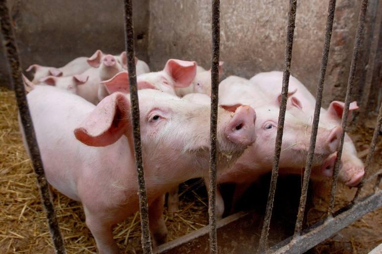Ceny świń w Kujawsko-Pomorskiem. Ile płaci się na początku lipca 2019 za żywiec wieprzowy?