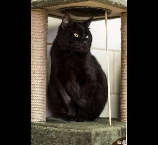 Dżajant to kot, który ceni sobie niezależność, choć głaskaniem nie pogardzi. Nie lubi brania go na ręce. Nie jest agresywny w stosunku do innych kotów, chyba, że przekraczają jego granice.
