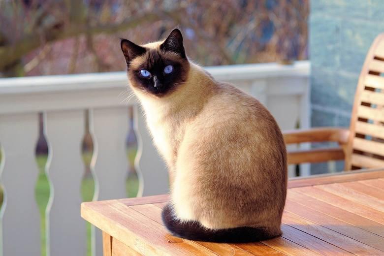 Kot syjamskiKoty syjamskie są żywiołowe i towarzyskie. Uwielbiają się bawić i często łaszą się do opiekunów. Nie znoszą samotności. Zdecydowanie lepiej