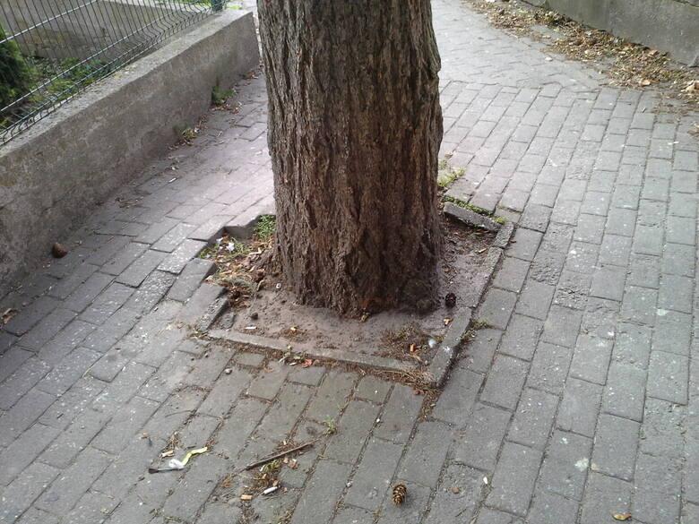 Na pierwszy rzut oka można odnieść wrażenie, że w Ustce drzewa są bardzo szanowane. Jednak ta kilkudziesięcioletnia jodła zostanie wycięta, by nowy chodnik