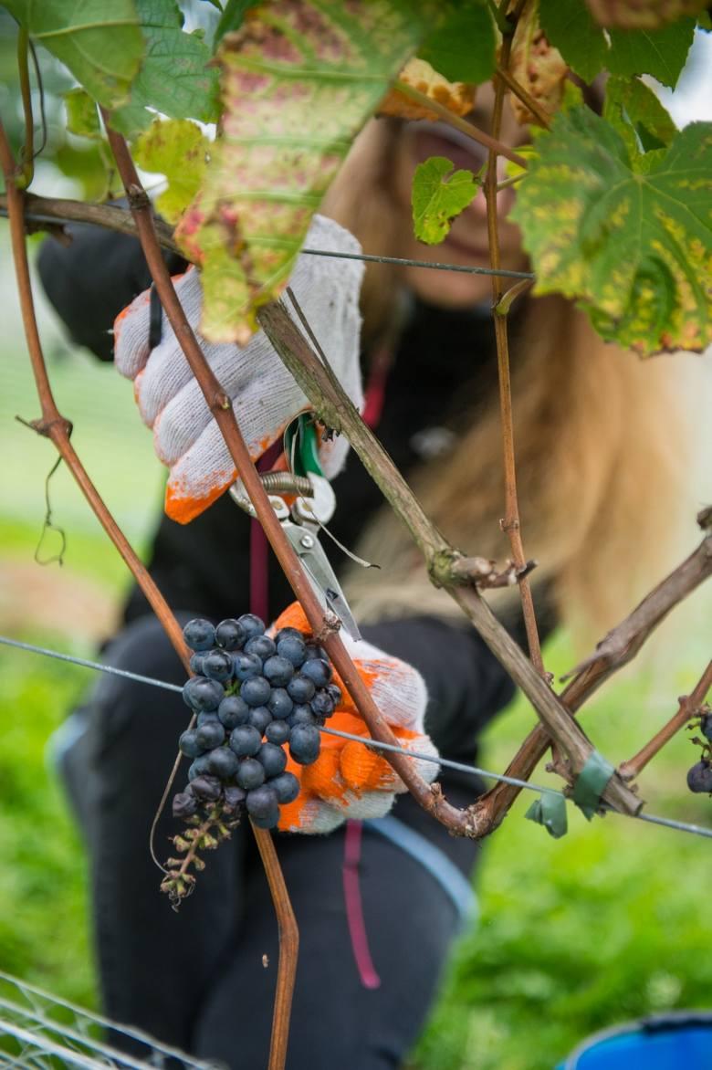 Wielkie winobranie w Chronowie