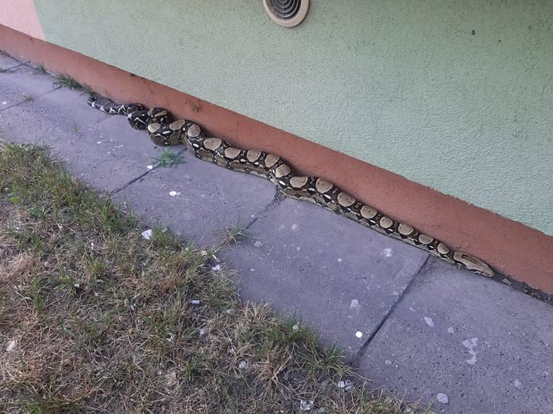 Nietypową interwencję przeprowadzili strażnicy z Animal Patrolu. Zostali wezwani do... węża boa, który pełzał pod blokiem na ul. Traktorowej. Przerażeni