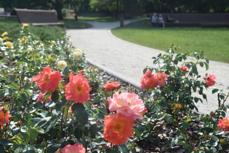 Róże są w różnych kolorach.