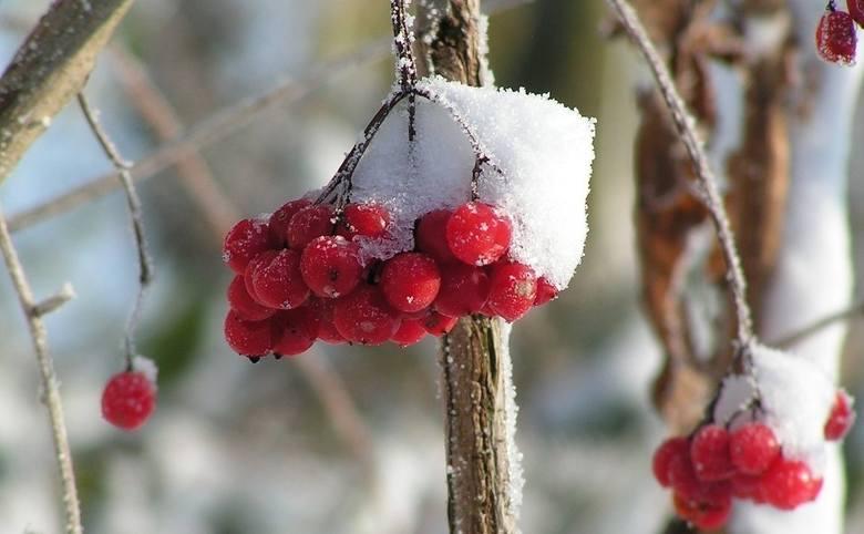 W ogrodzie warto posadzić krzewy o dekoracyjnych owocach, pędach i kształcie. Dzięki nim ogród będzie wyglądał ciekawie również zimą.