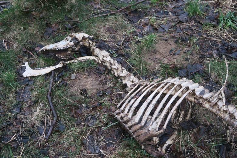 Szczątki łani znalezione przez burmistrza w okolicach Czarnego