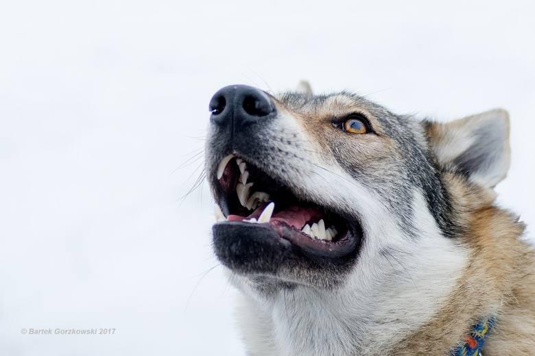 Fifty urodziła się 28 sierpnia 2015 roku. Swoje imię dostała na pamiątkę pierwszej wilczycy z parku w Stownicy.