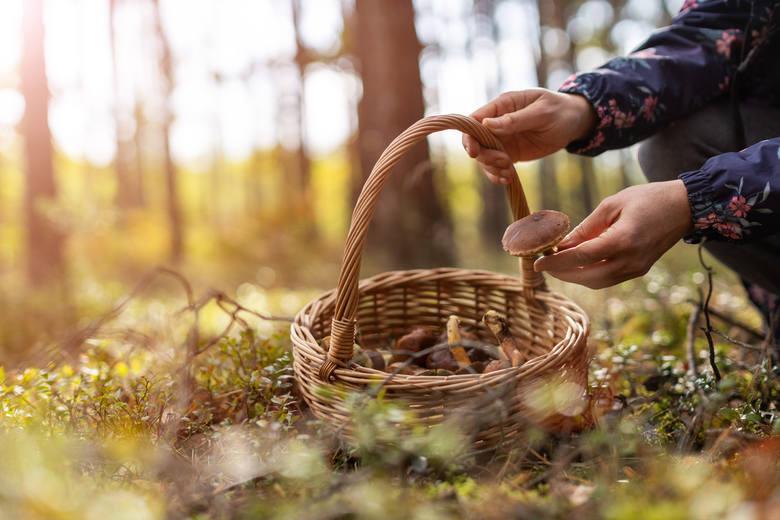 Dekalog współczesnego grzybiarza: złote zasady grzybobrania. A koronawirus? Tego lepiej unikaj w lesie (wytyczne GIS)